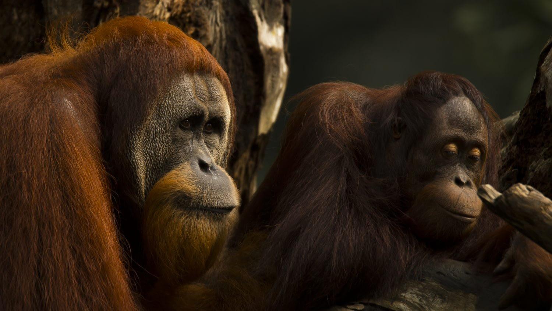 Photograph of an Orangutan couple at the Singapore Zoo