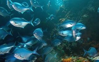 School of Blue maomao Poor Knights Islands Marine Reserve