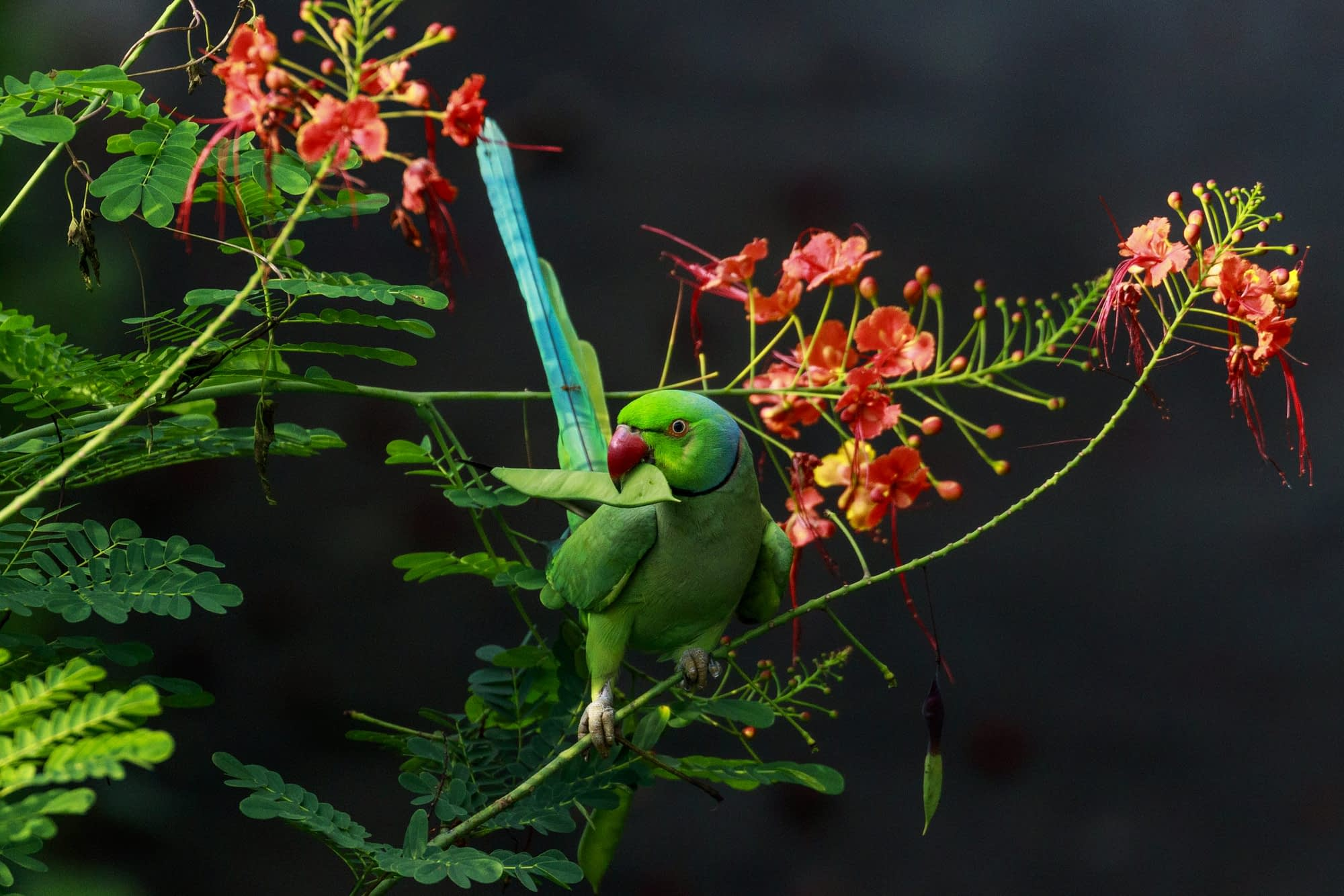 Photograph of a Rose-ringed Parakeet