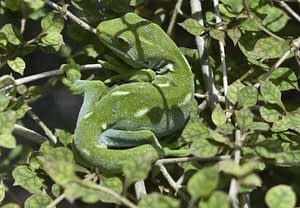 Green gecko. Photo by Katie Ro.