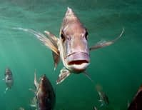 Underwater photo of snappers facing forward