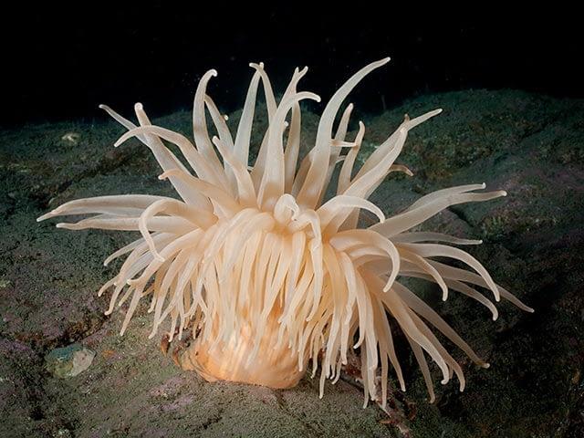 Deeplet sea anemone by Karen Telnes