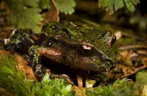 Archey's frog. Photo by James Reardon