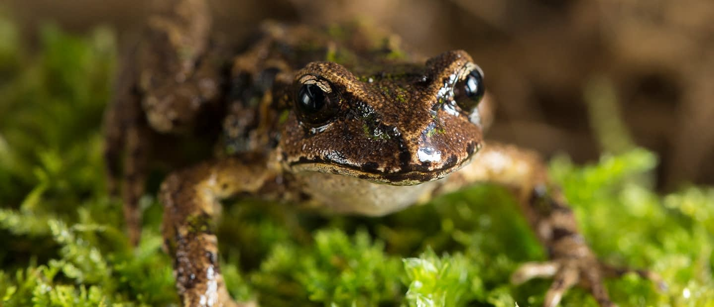 Archey's frog. Photo by Auckland's Zoo.