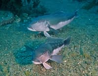 A pair of blue cod, an endemic fish of New Zealand