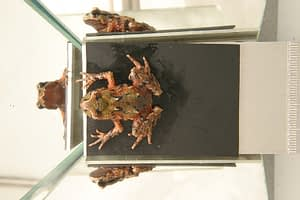 Archey's frog in a mirror stage. Photo by DOC.