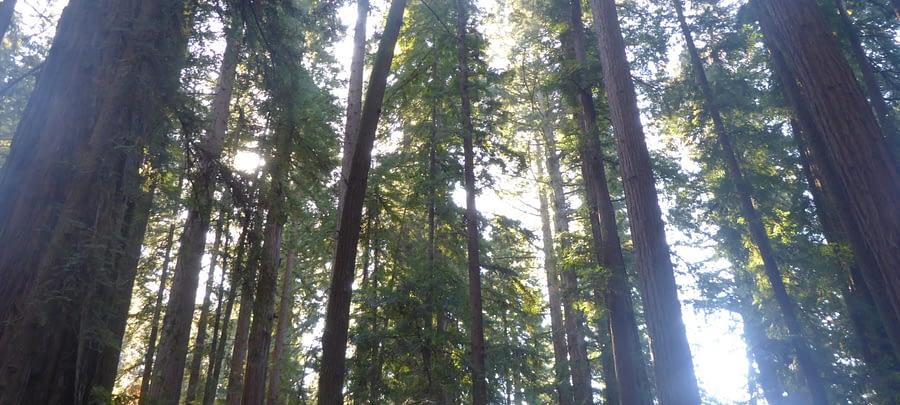 Caption of a backlit redwood trees