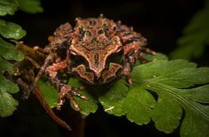 Archey's frog on fern. Photo by James Reardon.